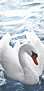 Swans Photos - White swan on water by Elena Elisseeva