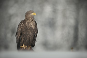 Conditions Photo Posters - White-tailed Eagle Poster by Andy Astbury