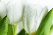 Dew Prints - White Tulips Print by Nailia Schwarz