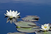 Lotus Pond Prints - White Water Lily Print by Heiko Koehrer-Wagner
