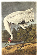Whooping Crane Framed Prints - Whooping Crane Framed Print by John James Audubon
