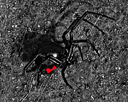Creepy Digital Art Prints - Wicked Widow - Selective Color Print by Al Powell Photography USA