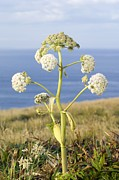Angelica Framed Prints - Wild Angelica (angelica Sylvestris) Framed Print by Duncan Shaw