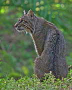 Bobcat Photos - Wild Bobcat by Larry Linton