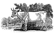 Bewick Framed Prints - Wild Cattle Framed Print by Granger