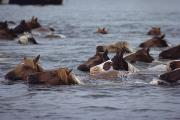 Animal Behavior Metal Prints - Wild Chincoteague Ponies Swim Metal Print by Medford Taylor