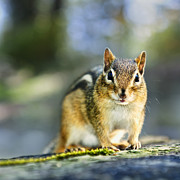 Small Animals Posters - Wild chipmunk Poster by Elena Elisseeva