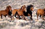 High Desert Photos - Wild Horses by Inga Spence and Photo Researchers