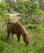 Chincoteague Island Prints - Wild Pony on Assateague Island - Maryland Print by Brendan Reals