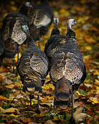 Fall Colors Autumn Colors Posters - Wild Turkey Poster by Scott Hovind