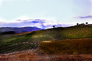 Wine Vineyard Photos - Wine Vineyard in Sicily by Madeline Ellis