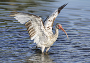 Ibis Metal Prints - Wings Up Metal Print by Deborah Benoit