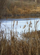 Cattails Framed Prints - Winter Cattails Framed Print by Carol Groenen