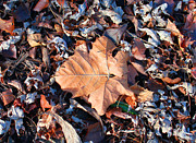Photos Of Autumn Prints - Winter Leaves Print by Roy Kaelin