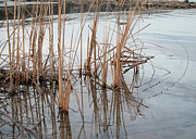 Reeds Photos - Winter Shore by Merv Scoble