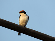 Swallow Pyrography - Wire tailed swallow by Ramesh Chand