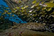 Ledge Photos - Wobbegong Shark And Cardinalfish, Byron by Mathieu Meur