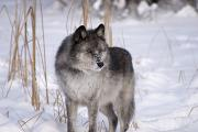 Canadian Prairies Prints - Wolf In The Snow Print by Philippe Widling