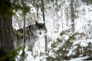 Wild Animals Metal Prints - Wolf In The Snow Metal Print by Richard Wear