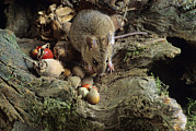 Food Store Photos - Wood Mouse Feeding by David Aubrey