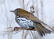 Thrush Posters - Wood Thrush Poster by Ron Jones