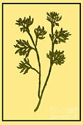 Wines Photos - Wormwood, Alchemy Plant by Science Source