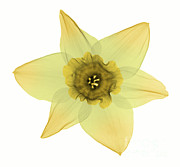 Ted Kinsman - X-ray Of Daffodil Flower