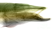 Muskellunge Photos - X-ray Of Muskie by Ted Kinsman