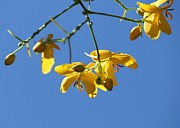 Cassia Blossoms Framed Prints - Yellow and Blue Framed Print by Theresa Willingham