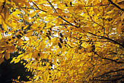 Yellow Leaves Framed Prints - Yellow Birch (betula Alleghaniensis) Framed Print by Adrian Thomas