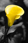 Laura Zirino - Yellow Calla
