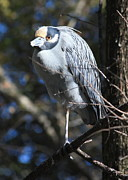 Bird In Tree Posters - Yellow-crowned Night-Heron Poster by Carol Groenen