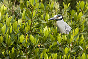 Mangrove Trees Photos - Yellow-crowned Night Heron Nyctanassa by Tim Laman