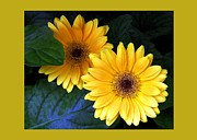 Floral Notecards Posters - Yellow Dahlias Poster by Dale   Ford