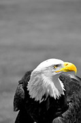 Eagle Metal Prints - Yellow Metal Print by Emily Stauring