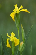 Green Foliage Prints - Yellow Flag Iris (iris Pseudacorus) Print by Bob Gibbons