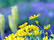 Yellow Flowers Print by Becky Lodes
