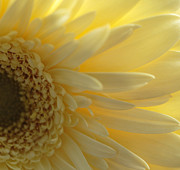 Joan Powell - Yellow Gerber Daisy