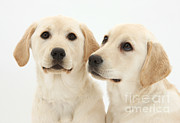 Baby Faces Prints - Yellow Labrador Retriever Pups Print by Mark Taylor