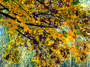 Yellows Framed Prints Prints - Yellow Leaves Print by John Herzog