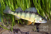 Angling Framed Prints - Yellow Perch Perca Flavescens Framed Print by Ted Kinsman