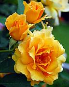 Flower Gardens Photos - Yellow Roses by Amy Fose
