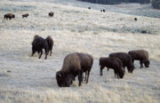 Bison Photos - Yellowstone Bison by Michael Peychich
