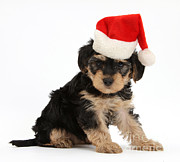 Father Christmas Prints - Yorkipoo Pup Wearing Christmas Hat Print by Mark Taylor