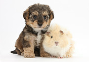 Cross Breed Posters - Yorkipoo Pup With Guinea Pig Poster by Mark Taylor