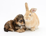 Cross Breed Prints - Yorkipoo Pup With Sandy Rabbit Print by Mark Taylor