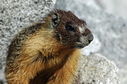 Background Photos - Yosemite Yellow Bellied Marmot by LeeAnn McLaneGoetz McLaneGoetzStudioLLCcom