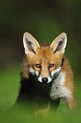 Vulpes Posters - Young Red Fox Poster by Colin Varndell
