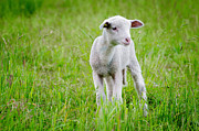 Hair Sheep Photo Prints - Young sheep Print by Mats Silvan