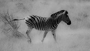 Animals Mixed Media Originals - Zebra by Hannes Naude